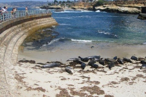 california-harbor-seal-viewing