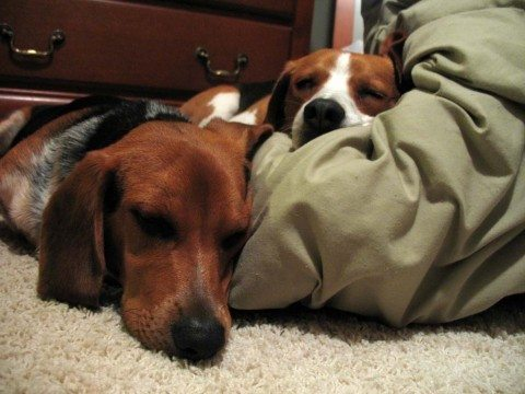 dogs-sleeping-on-sheets