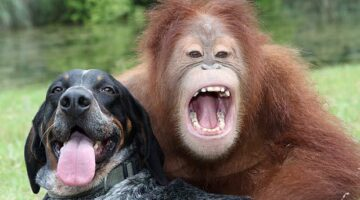 Cutest Video EVER: Suryia the Orangutan and Roscoe the Dog, Best Friends For Life