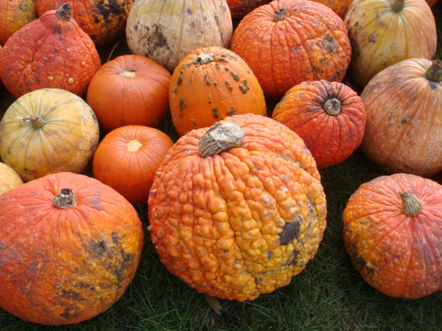 Pumpkins are sometimes given away for free late in the fall when they're no longer in high demand.