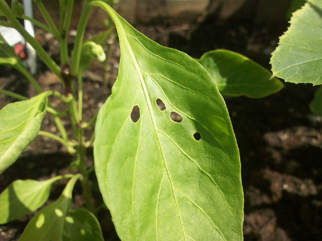 Bugs Eating Holes in Leaves http://green.thefuntimesguide.com/2009/08/natural_garden_slug_control.php